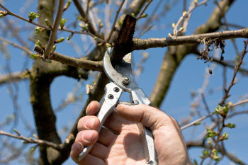 Pruning Your Cherry Trees The Basics