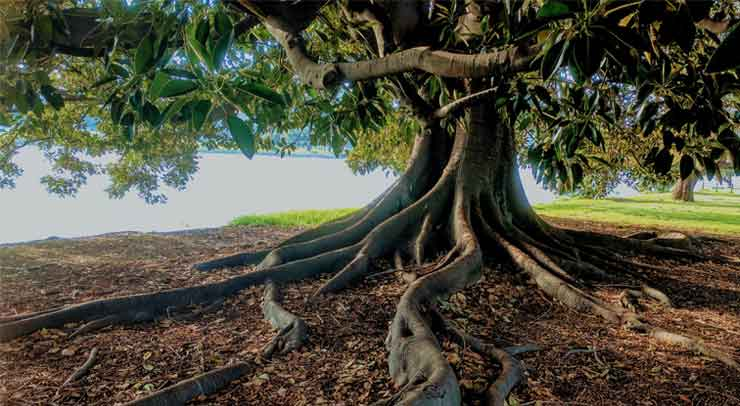 What To Do About Exposed Tree Roots Dave Lund Tree